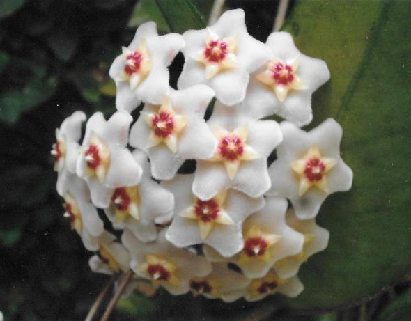 flordecera